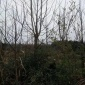馬褂木小苗  雜交馬褂木 苗圃基地直銷 米徑12公分馬褂木